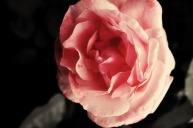 medium-full-rose-colourized