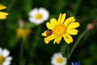 medium-ladybug-macro
