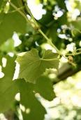 medium-leaf