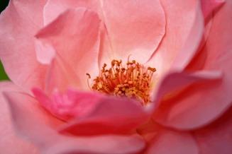 medium-rose-macro