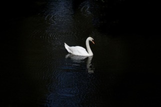 medium-swan2