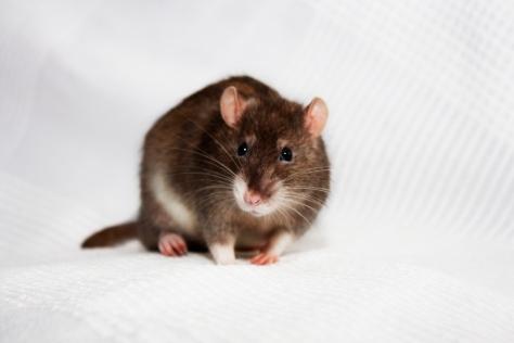 Sobe the Rat Redux